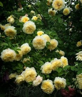 Роза английская The Pilgrim С6