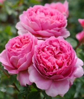 Роза английская Princess Alexandra of Kent С6