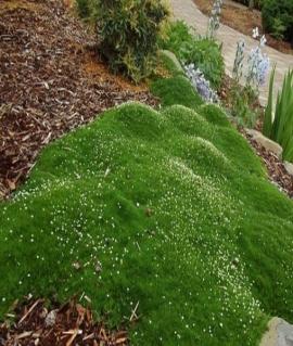 Мшанка шиловидная Green Moss P9