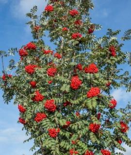 Рябина обыкновенная Sheerwater Seedling 80-100 С