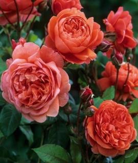 Роза английская Summer Song С6