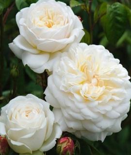Роза английская Tranquillity С6