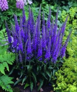 Вероника колосистая Blue Bouquet C2