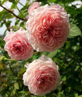 Роза английская William Morris С6