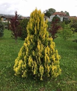 Туя западная Yellow Ribbon  C15 80-100
