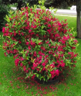 Вейгела цветущая Bristol Ruby 40-60 С2