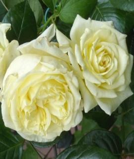 Роза плетистая Elfe С6