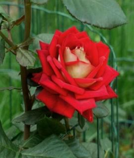 Роза чайно-гибридная New Fashion С6