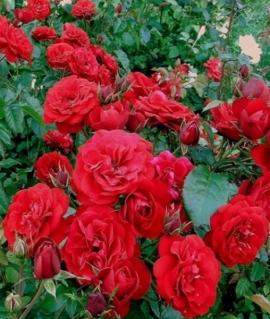 Роза флорибунда Tornado С6