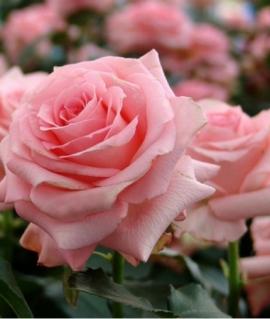Роза чайно-гибридная Pink Noblesse С6