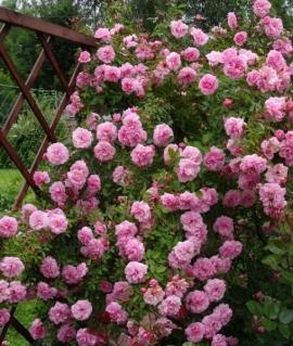 Роза плетистая  канадская John Davis С6