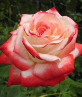 Роза чайно-гибридная Imperatrice Farah С6