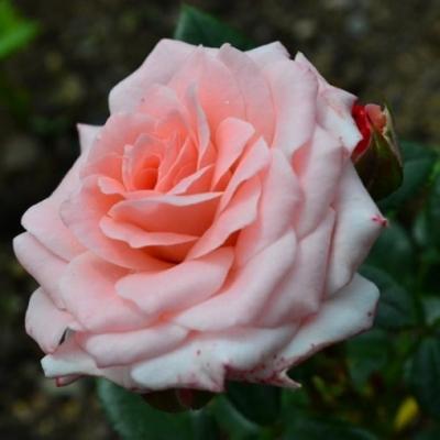 Роза спрей Lydia Classic  С4