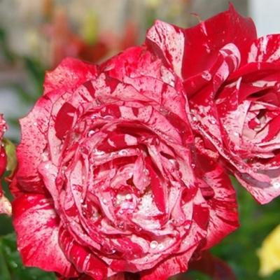 Роза спрей Glory Star С4