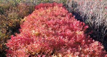 Блеклые краски осени разбавит яркая листва спиреи японской Голдфлейм