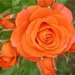 Роза спрей Alegria С4