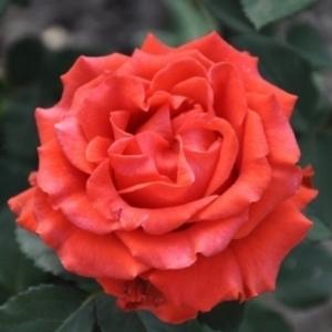 Роза чайно-гибридная El Toro С6