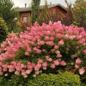 Гортензия метельчатая Magical Sweet Summer 4-6 веток С4