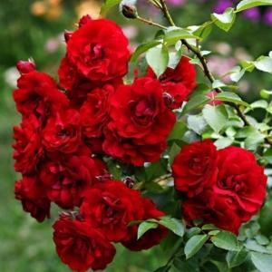 Роза плетистая Amadeus С6